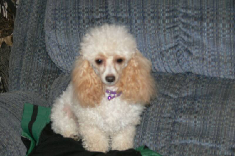 Wb Poodle Home Teacup Poodles Tiny Toy Poodles Toy